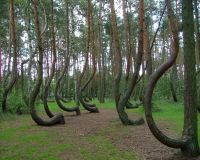Кривой лес в Польше (Krzywy Las, Polska)