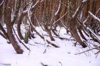 Пьяный лес в Шиловском районе Рязанской области