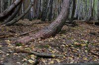 Аномальный рост Танцующий лес, Рязанская область (фото)