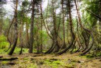 Разгадки Танцующега леса (Рязанская область)